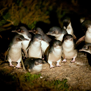 Bicheno Penguin Tours